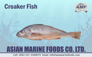 Croaker Fish Exporter Pakistan