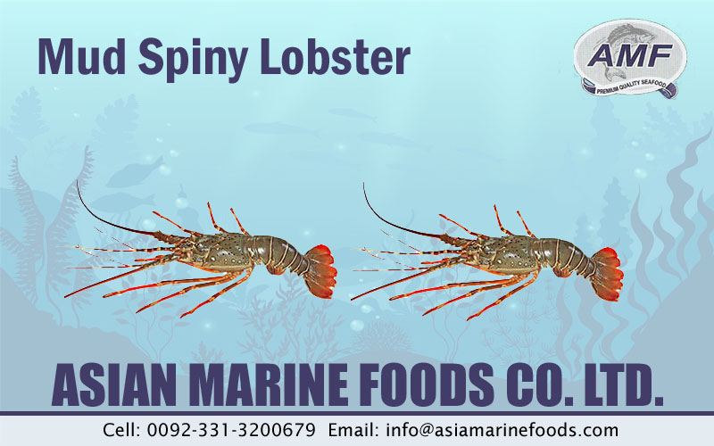 Mud Spiny Lobster Exporter Pakistan