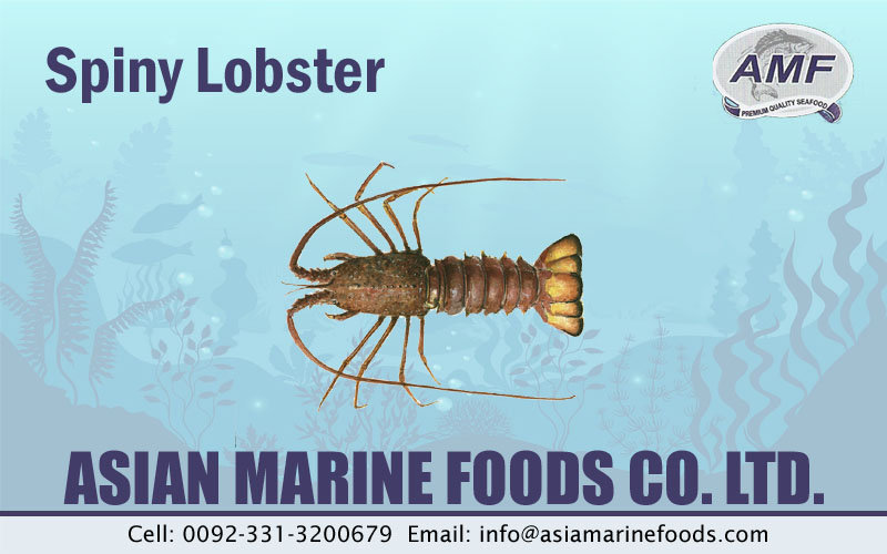 Spiny Lobster Exporter Pakistan