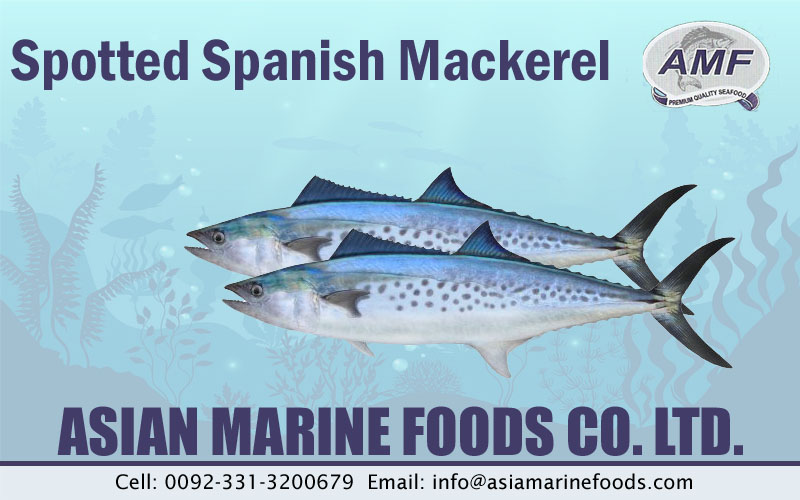 Spotted Spanish Mackerel Exporter Pakistan